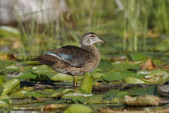 Male Wood Duck in Eclipse Plumage Royalty Free Stock Image