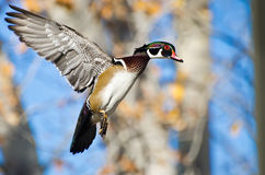 Male Wood Duck In Flight. In Autumn Stock Images