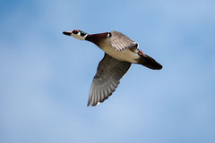 Male wood duck in flight. With cloud and blue sky background Royalty Free Stock Photo