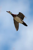 Male wood duck in flight. With cloud and blue sky background Royalty Free Stock Image