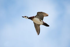 Male wood duck in flight. With cloud and blue sky background Stock Photos