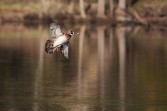 Male wood duck in flight. Over lake Royalty Free Stock Photo