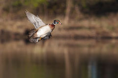 Male wood duck in flight. Over lake Royalty Free Stock Image