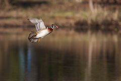 Male wood duck in flight. Over lake Stock Photos