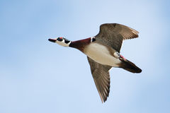 Male wood duck in flight in soft focus Stock Images