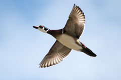 Male wood duck in flight in soft focus. Male wood duck in flight with cloud and blue sky background in soft focus Stock Photos