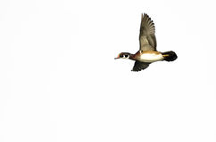 Male Wood Duck Flying Against a White Background. Male Wood Duck Flying on a White Background Stock Photo