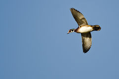 Male Wood Duck Flying in a Blue Sky Stock Photography