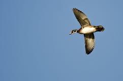 Male Wood Duck Flying in a Blue Sky. Male Wood Duck Flying in a Clear Blue Sky Stock Photography