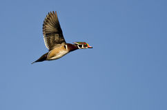 Male Wood Duck Flying in a Blue Sky. Male Wood Duck Flying in a Clear Blue Sky Royalty Free Stock Image