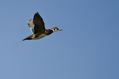 Male Wood Duck Flying in a Blue Sky. Male Wood Duck Flying in a Clear Blue Sky Royalty Free Stock Photos