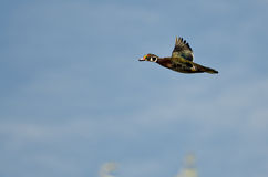 Male Wood Duck Flying in a Blue Sky. Male Wood Duck Flying in a Clear Blue Sky Royalty Free Stock Photography