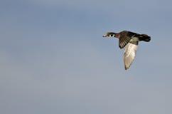Male Wood Duck Flying in a Blue Sky. Male Wood Duck Flying in a Clear Blue Sky Stock Images