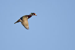 Male Wood Duck Flying in a Blue Sky Stock Photos