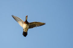 Male Wood Duck Flying in a Blue Sky Stock Photo