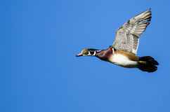 Male Wood Duck Flying in a Blue Sky. Male Wood Duck Flying in a Clear Blue Sky Royalty Free Stock Images