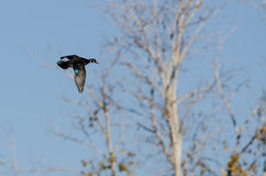 Male Wood Duck Flying in a Blue Sky Stock Images