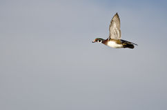 Male Wood Duck Flying in a Blue Sky Royalty Free Stock Photography