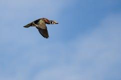 Male Wood Duck Flying in a Blue Sky. Male Wood Duck Flying in a Clear Blue Sky Stock Photo