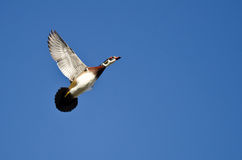 Male Wood Duck Flying in a Blue Sky with Tail Flared. Out Royalty Free Stock Images