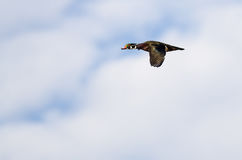 Male Wood Duck Flying in a Cloudy Blue Sky Stock Photos
