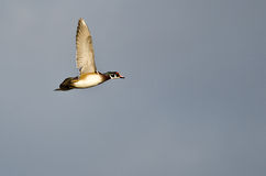 Male Wood Duck Flying in a Cloudy Sky Stock Photo