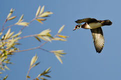 Male Wood Duck Flying Low Over the Trees. Male Wood Duck Flying Low Over the Tree Tops Royalty Free Stock Photography