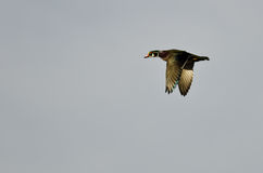 Wood Duck Flying in an Overcast Sky Royalty Free Stock Photos