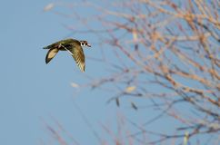 Wood Duck Flying Past the Autumn Tree. Male Wood Duck Flying Past the Autumn Tree Stock Images