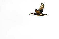 Male Wood Duck Flying on a White Background. Male Wood Duck Flying Against a White Background Royalty Free Stock Photo