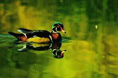 Male Wood duck. A male wood duck on golden pond waters Stock Image