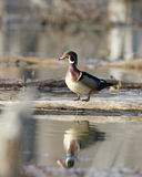 Male Wood Duck on log. A male wood duck perched on a log Stock Image