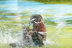 Male Wood Duck. Or Carolina Duck Aix sponsa, Wild duck was introduced as a pet is a colorful playing with water happily stock images