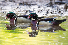 Male Wood Duck Pair 2. Male wood duck pair on a serene yellow pond in the morning sun at daybreak Royalty Free Stock Photo