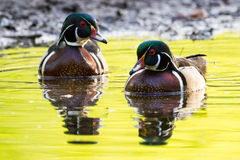 Male Wood Duck Pair. Male wood wood duck swimming on yellow rippled reflective pond in the morning Stock Photography