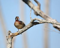 Male Wood Duck. A male wood duck perched on a limb Stock Photos