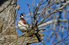 Male Wood Duck Perched in a Tree Stock Image