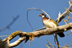 Male Wood Duck Perched in a Tree Stock Photography
