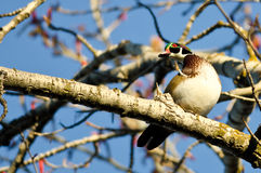 Male Wood Duck Perched in a Tree Royalty Free Stock Photography