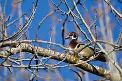 Male Wood Duck Perched in a Tree Royalty Free Stock Photo