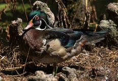 Male Wood DUck. Wood duck resting on a boardwalk rail looking out over the lake Stock Photos