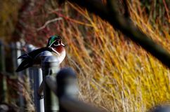 Male wood duck sits on railing at local pond. A colourful male wood duck sits on the railing at a park as it looks out at the pond. The bare branches of willow Royalty Free Stock Photos