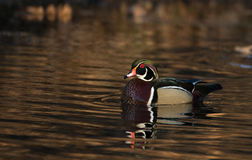Male wood duck. Sitting on a small pond in midwest United States Stock Photo