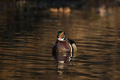 Male wood duck Stock Images