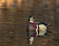 Male wood duck. Sitting on a small pond in midwest United States Stock Photography