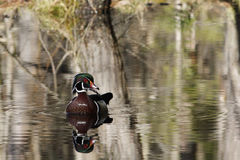 Male Wood Duck in the Spring Royalty Free Stock Images