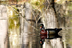 Male Wood Duck in the Spring Royalty Free Stock Photo