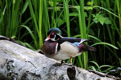 Male wood duck standing on a fallen tree by a lake. Burnaby,bc, canada Stock Photo