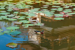 Male wood duck swim in the water. The most colorful wood duck on the water Royalty Free Stock Photography