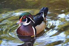 Free Male Wood Duck Swimming Stock Images - 50144464